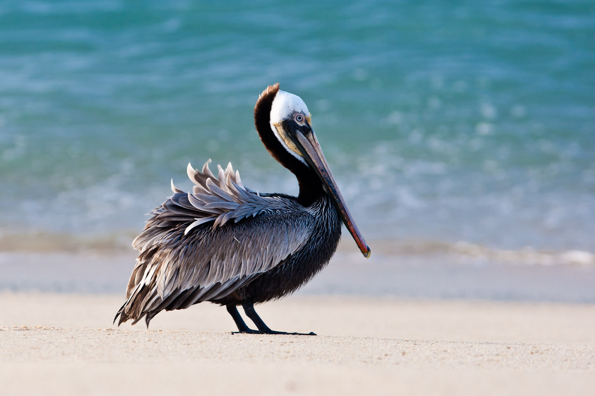 brown pelican | Christopher Martin Photography