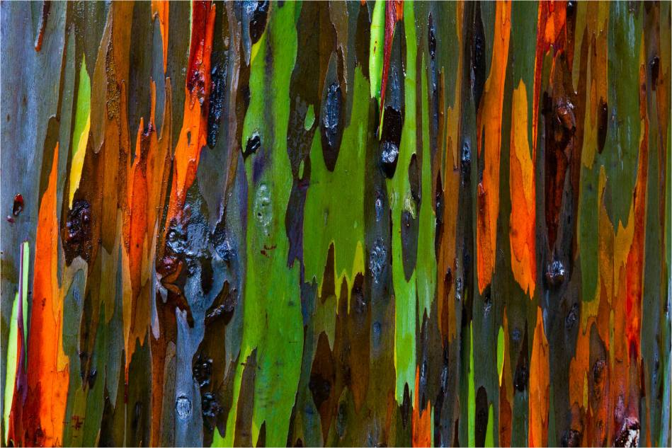 Rainbow Eucalyptus bark abstract © 2011 Christopher Martin-2342