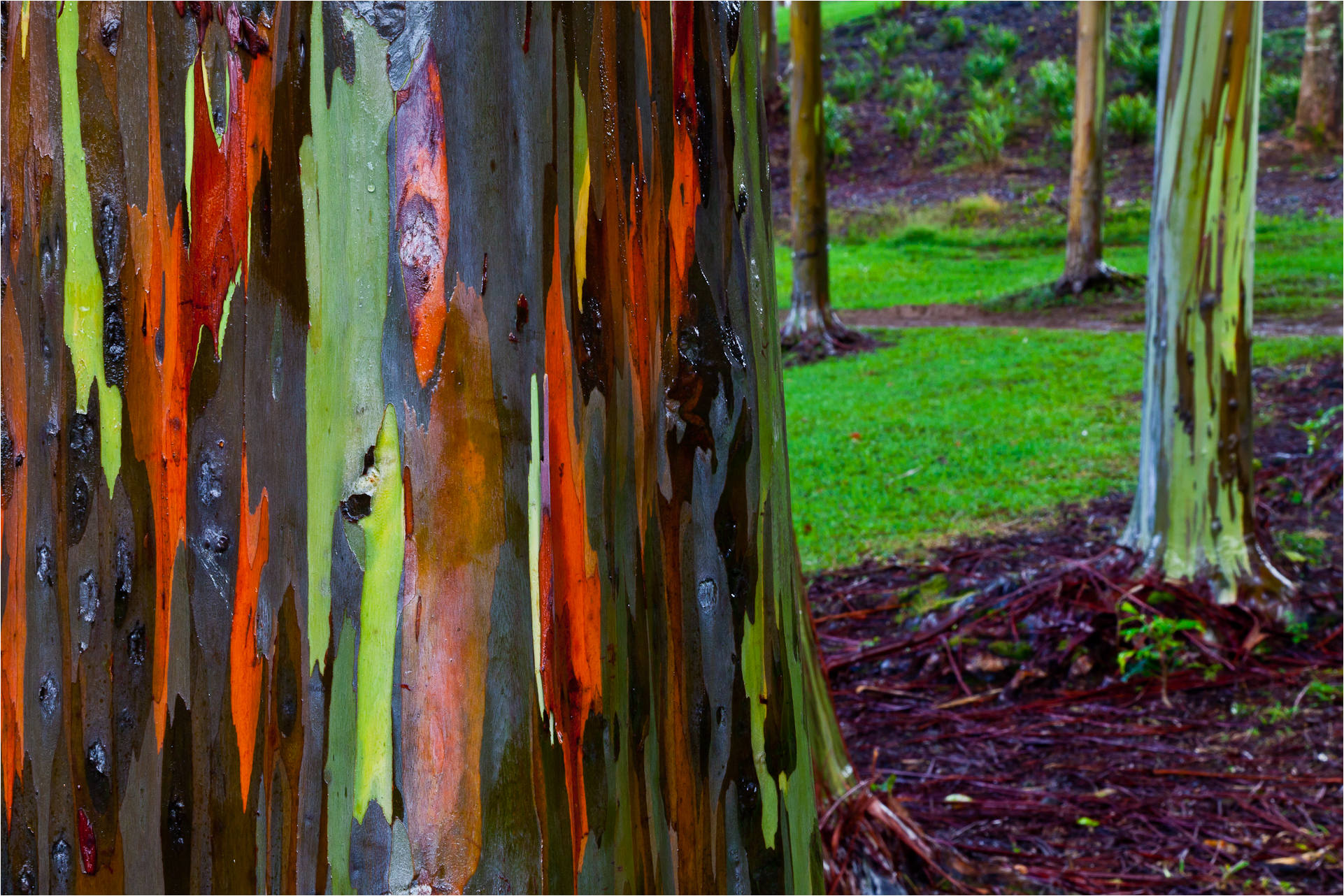 Rainbow Eucalyptus | Christopher Martin Photography