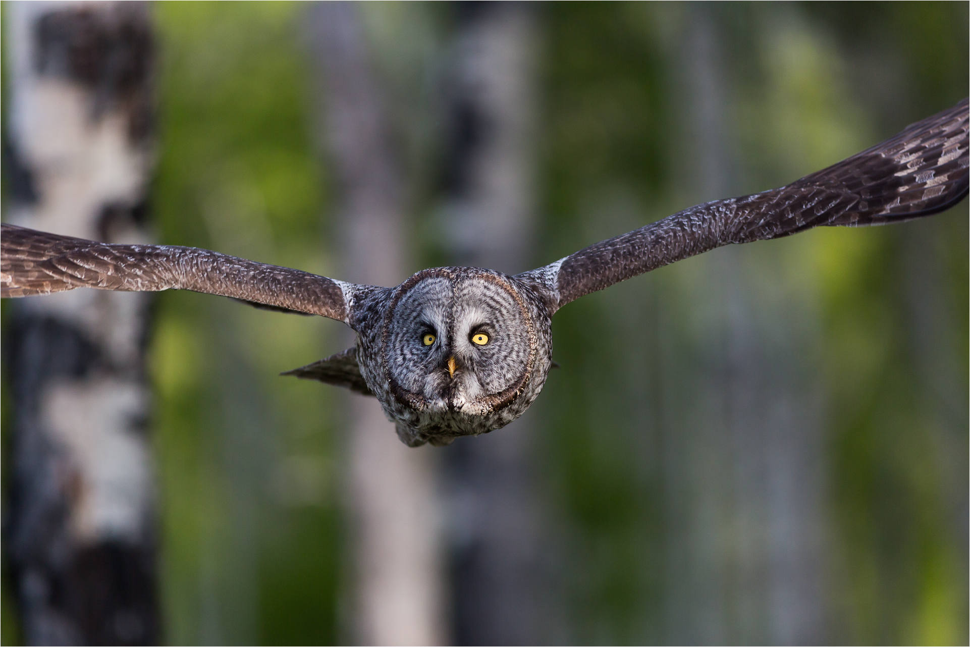 Forest Owls In Flight Christopher Martin Photography