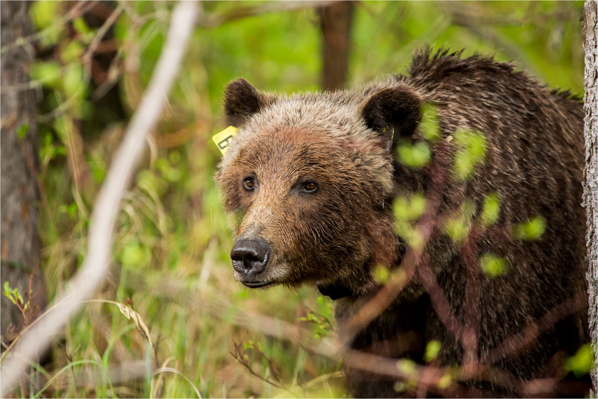 grizzly bear christopher martin photography page 5