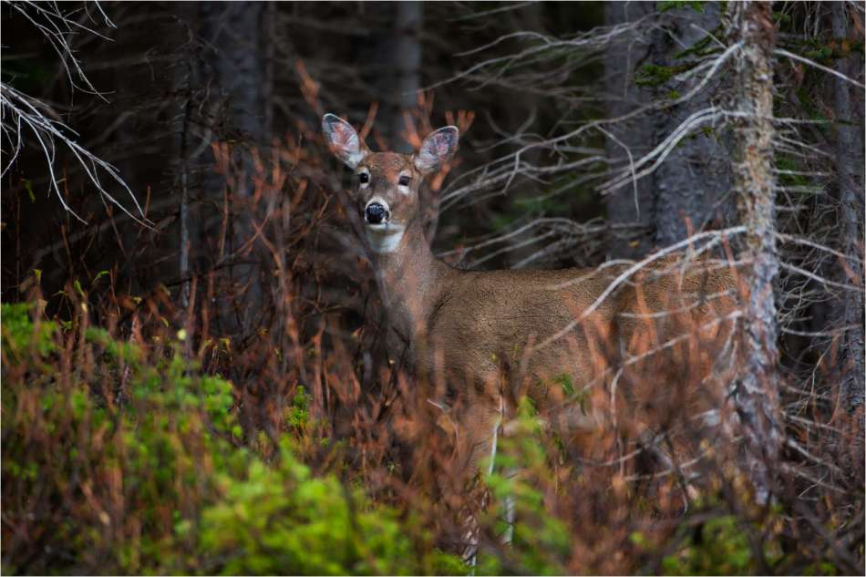 A White-tailed deer stands wrapped by the forest in Kananaskis, Alberta