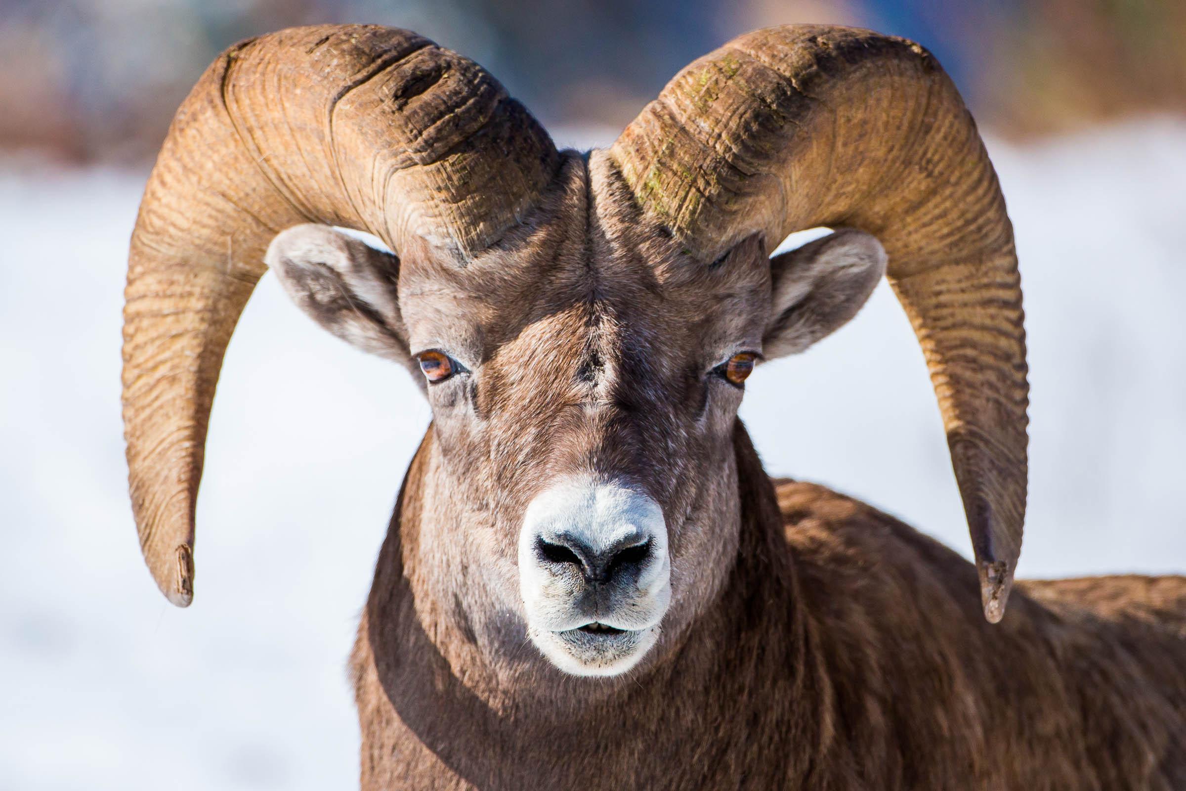 bighorn sheep christopher martin photography