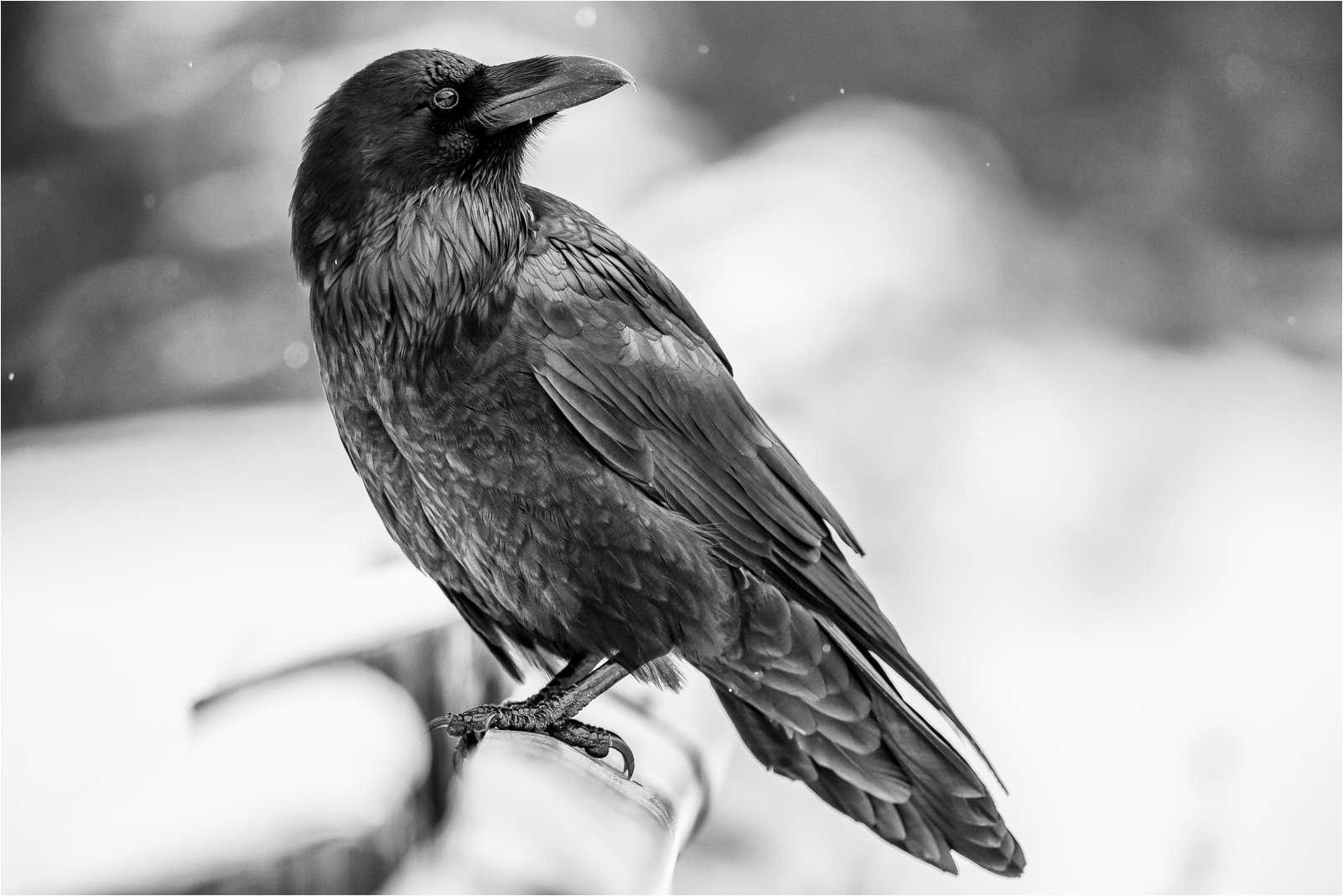 Ravens flying wallpaper - photo#21