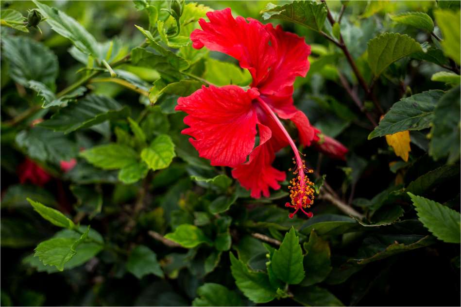 First Hibiscus - © Christopher Martin-3759