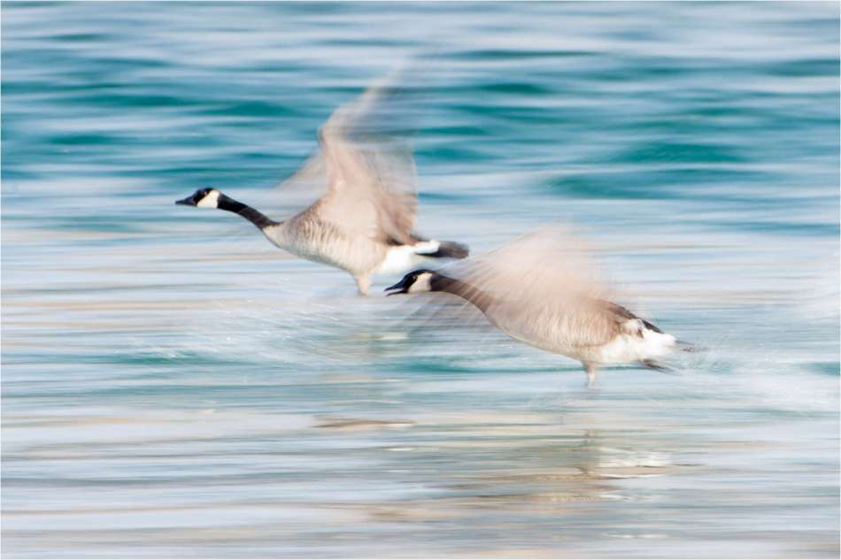 Geese takeoff - © Christopher Martin-3200