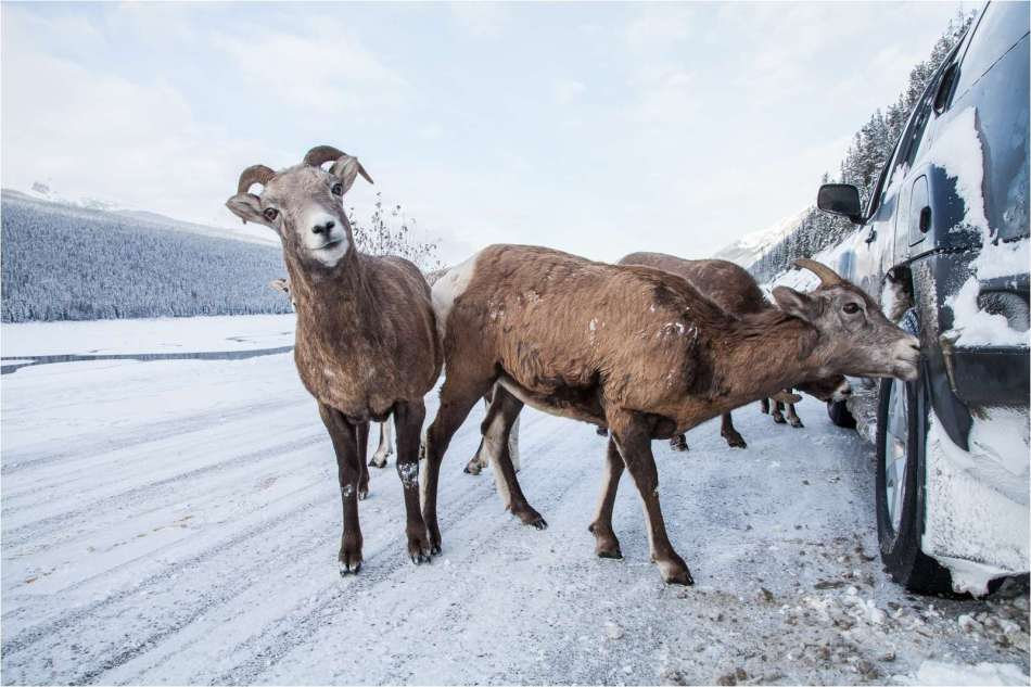 Bighorn sheep licking for salt near Jasper, Alberta, Canada