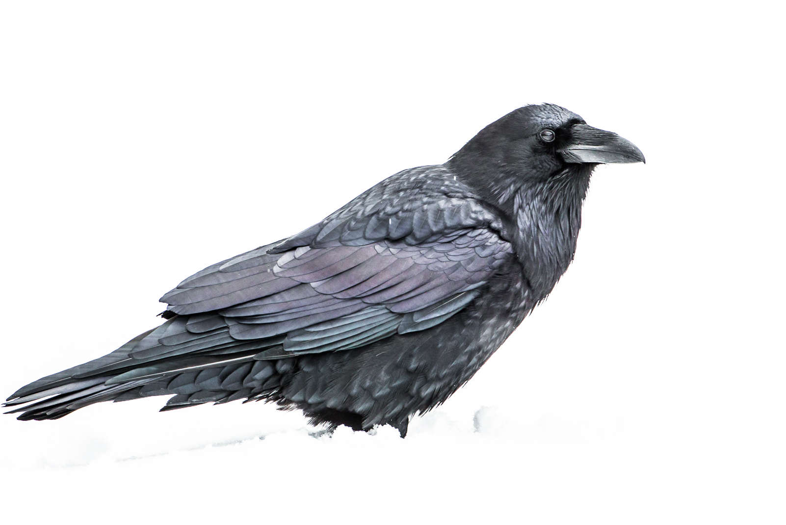 raven shadows