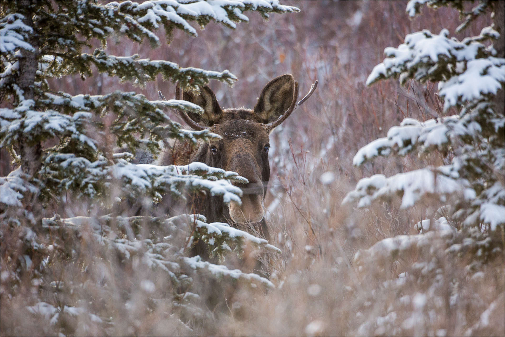 A young bull moose - © Christopher Martin-7922