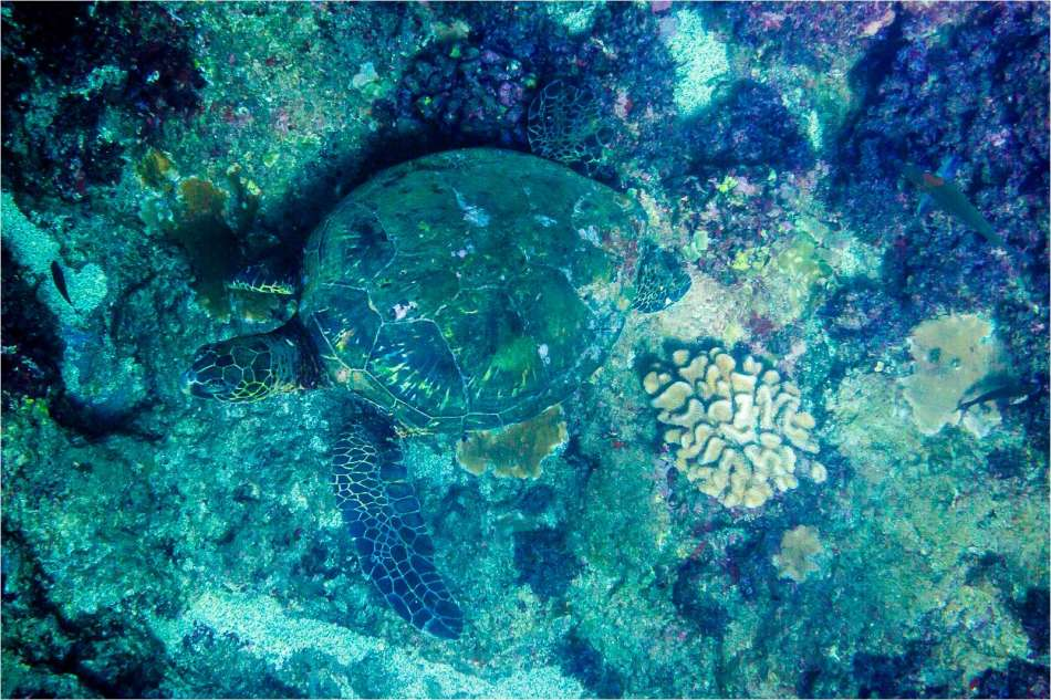 Foraging Honu - © Christopher Martin-4220
