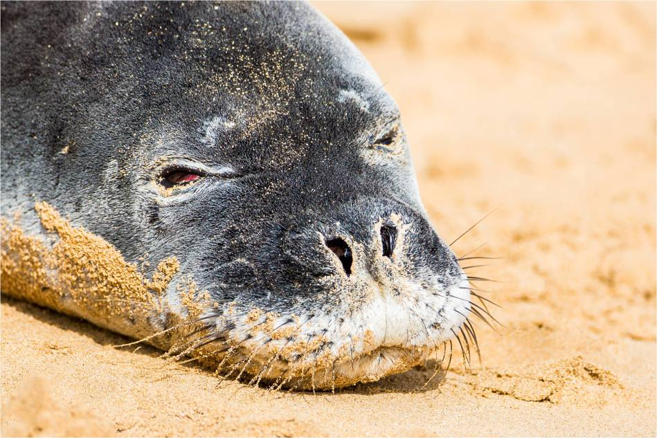 Hawaiian monk seal portrait - © Christopher Martin-7310