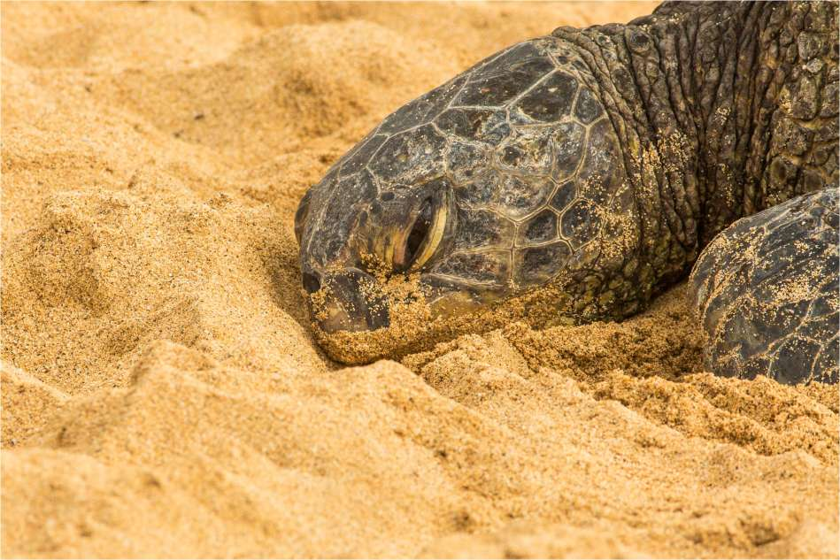Honu at rest - © Christopher Martin-7028