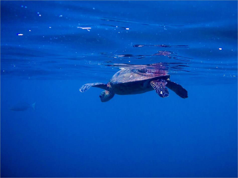 Honu - © Christopher Martin-4298