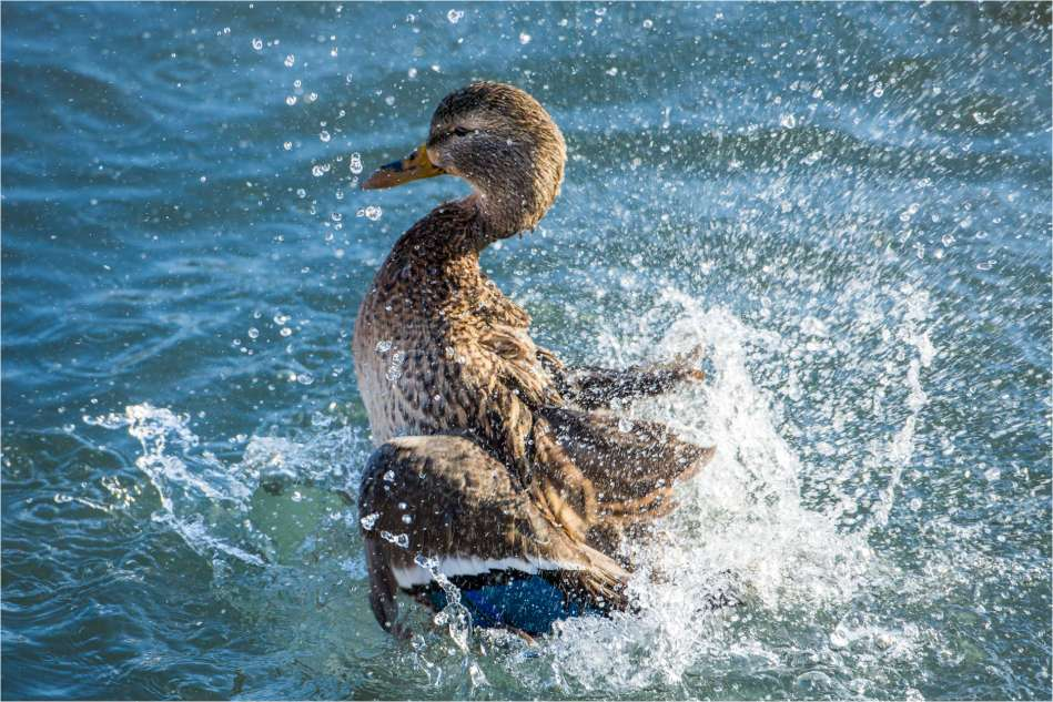 A female Mallard (Anas platyrhynchos) lifts out of the Bow River at the Inglewood Bird Sanctuary in Calgary, Alberta to shake the water off of her wings.