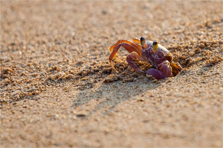 Sand crab - © Christopher Martin-4160