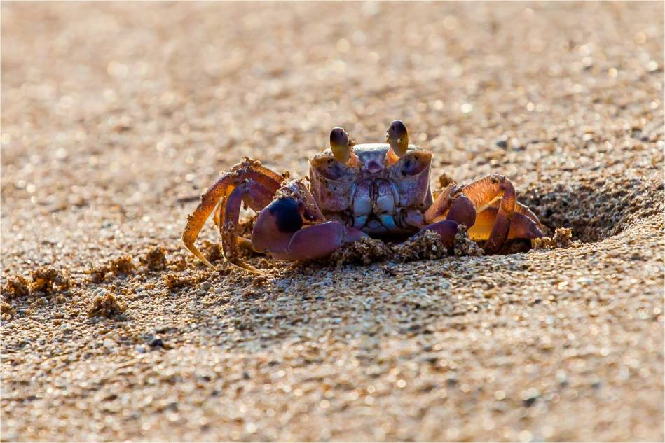 Hawaiian sand crab - © Christopher Martin-4245-2