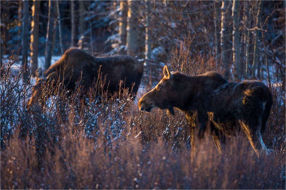 Winter moose - © Christopher Martin-6857