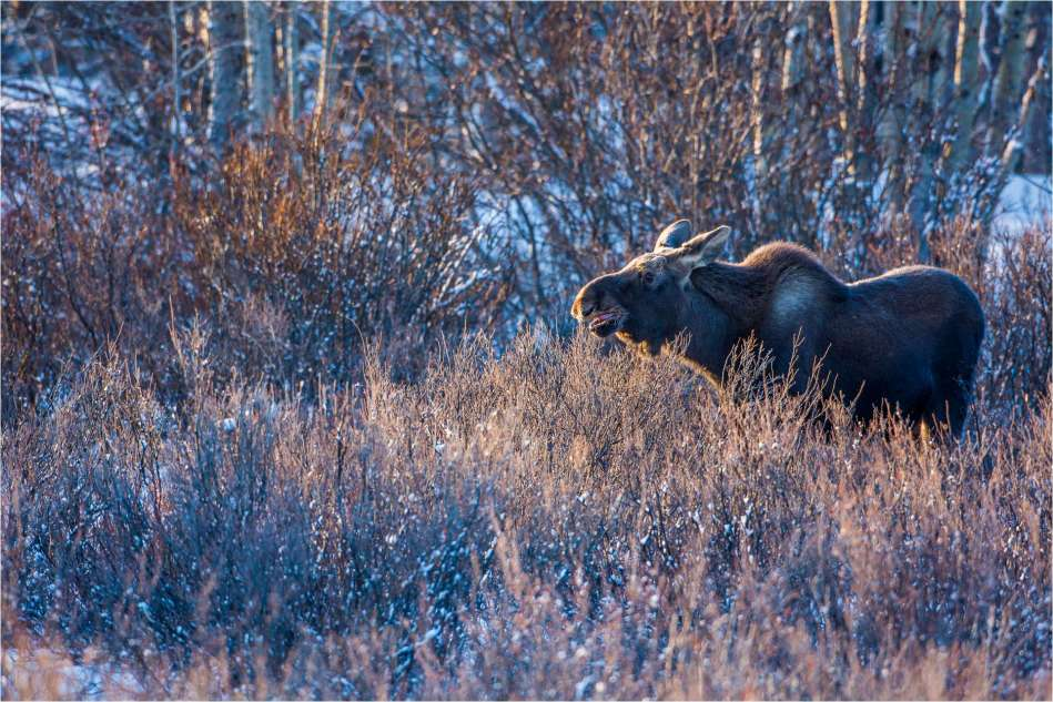 Winter moose calf - © Christopher Martin-7128-2