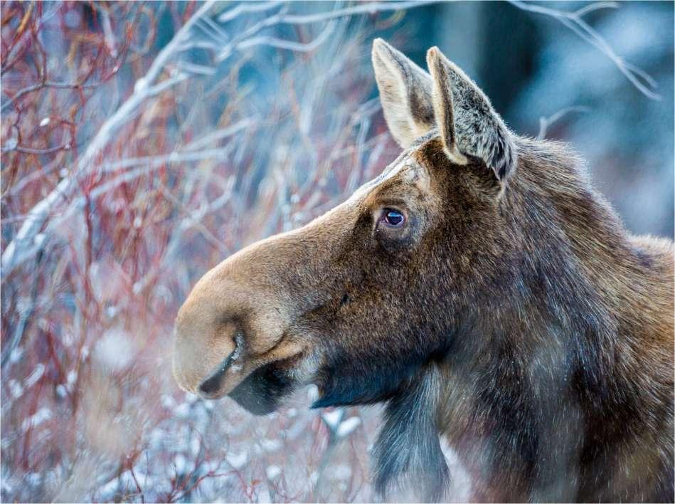 Moose profile - © Christopher Martin-7302