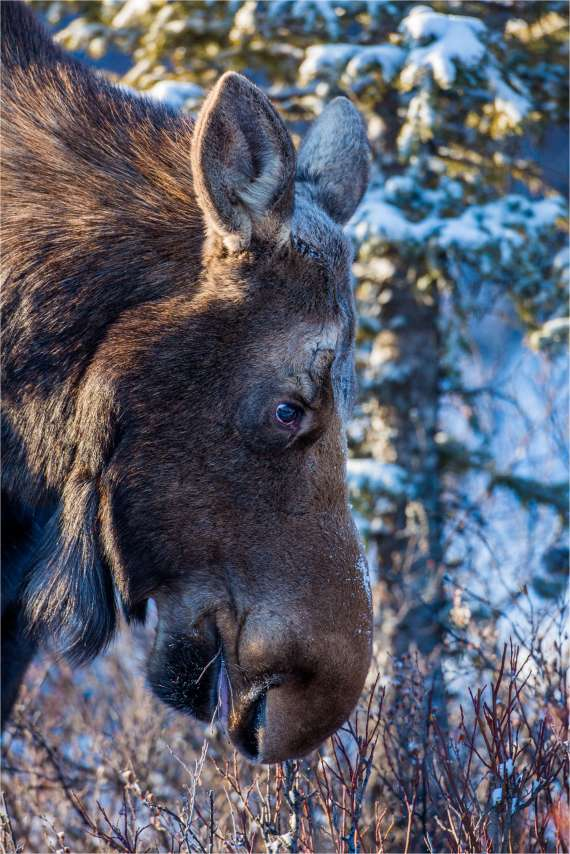 Winter moose - © Christopher Martin-7580