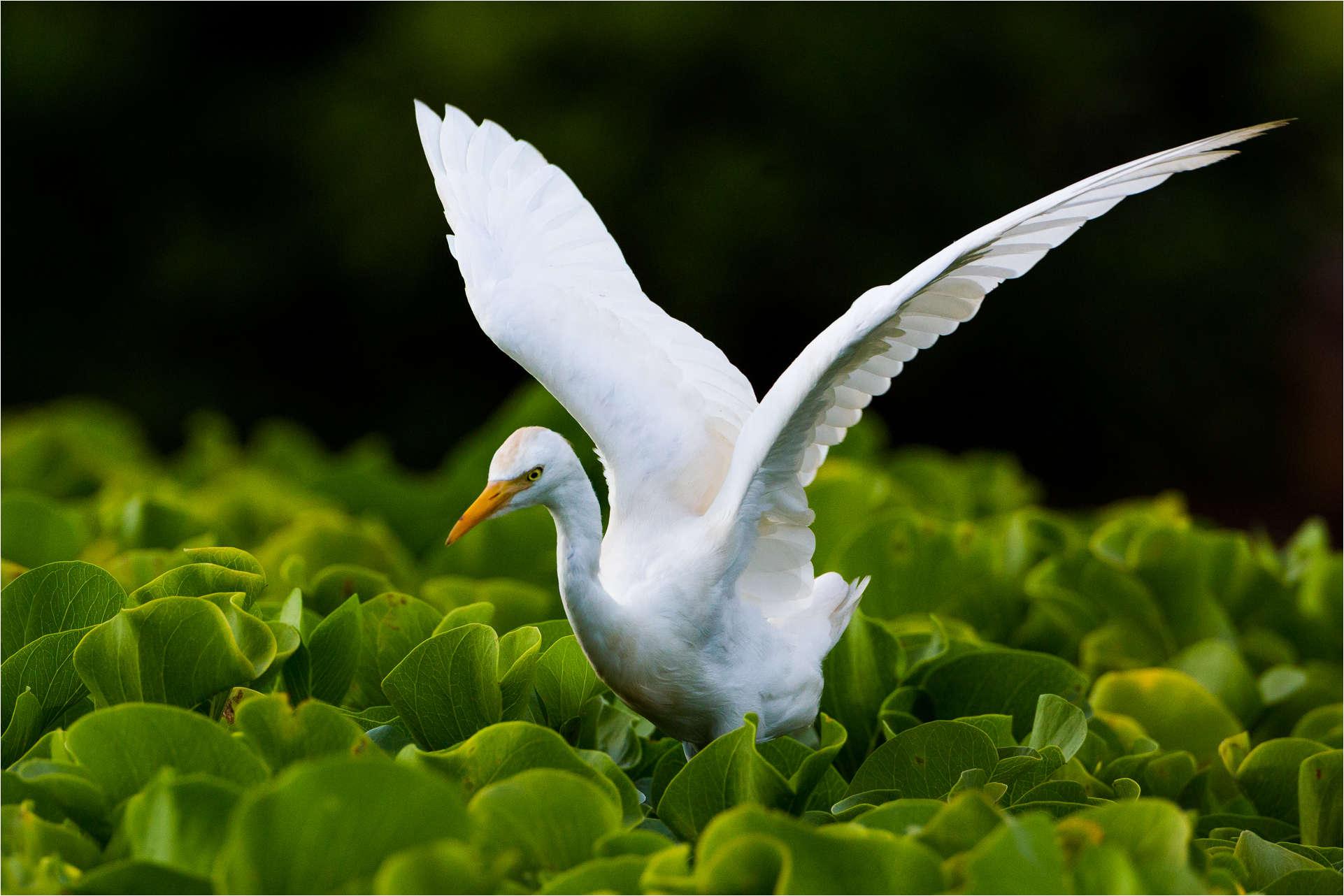 Egret ballet - © Christopher Martin-1079