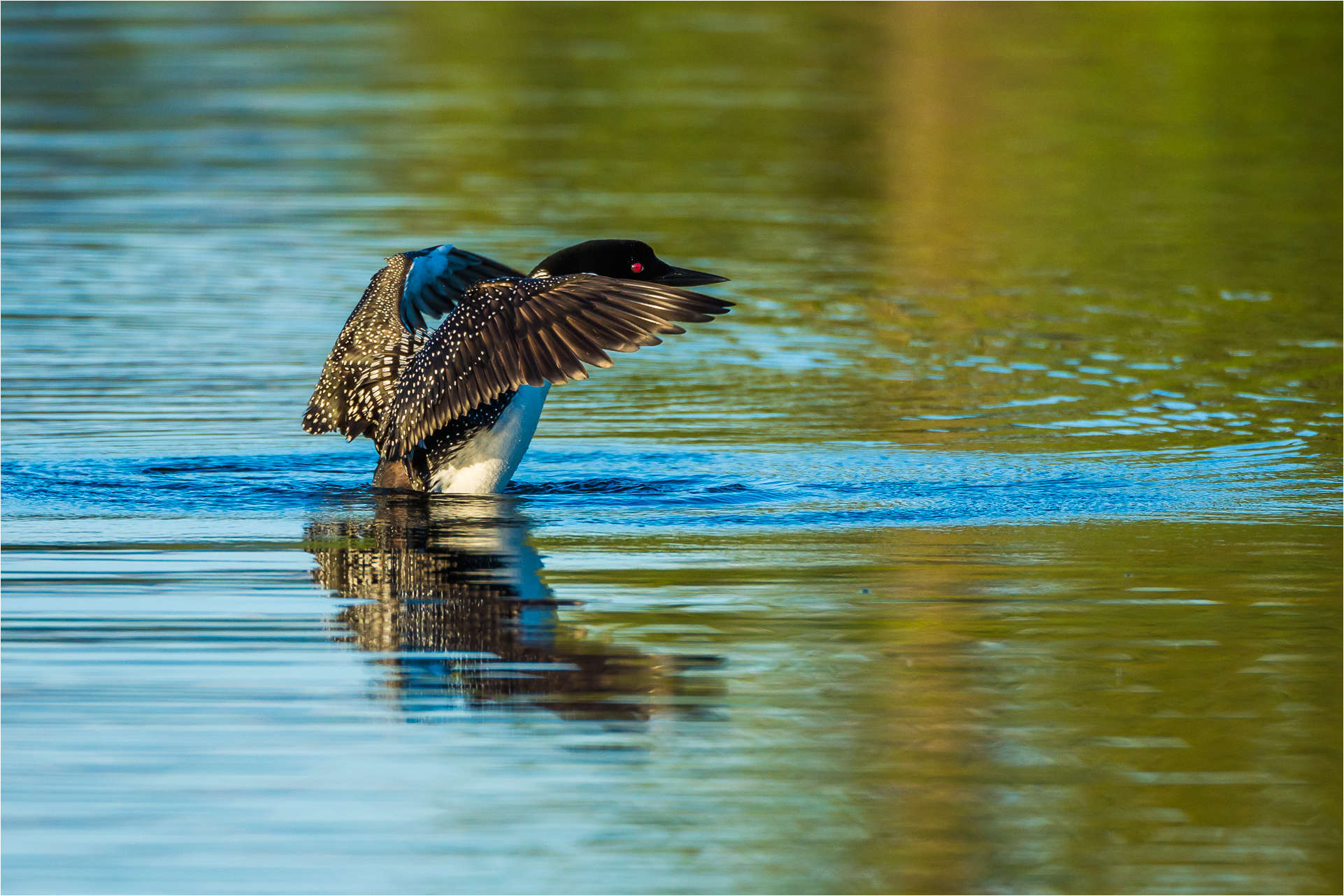 Water off a loon's back - © Christopher Martin-2213