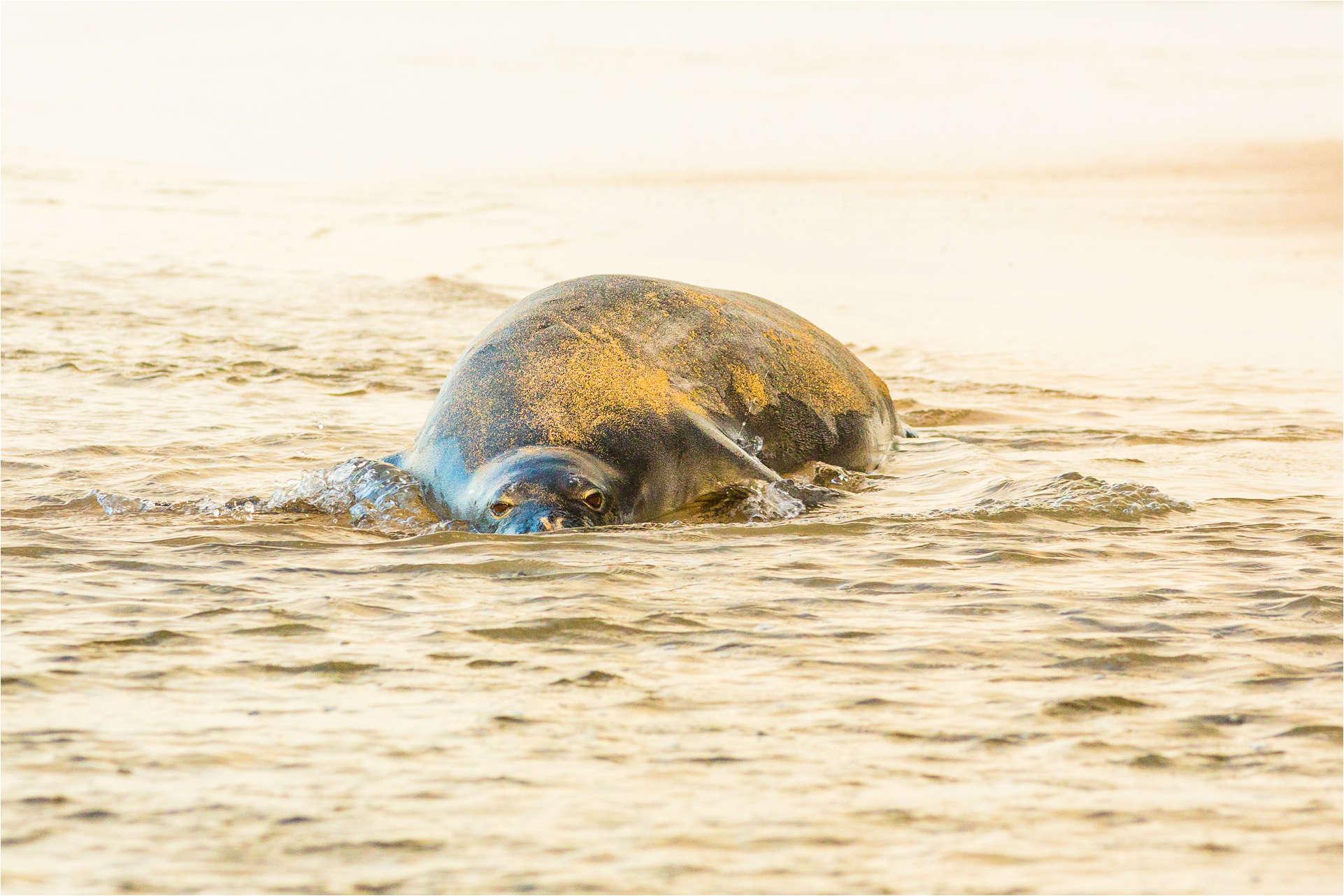 Monk Seal peek-a-boo - © Christopher Martin-2821