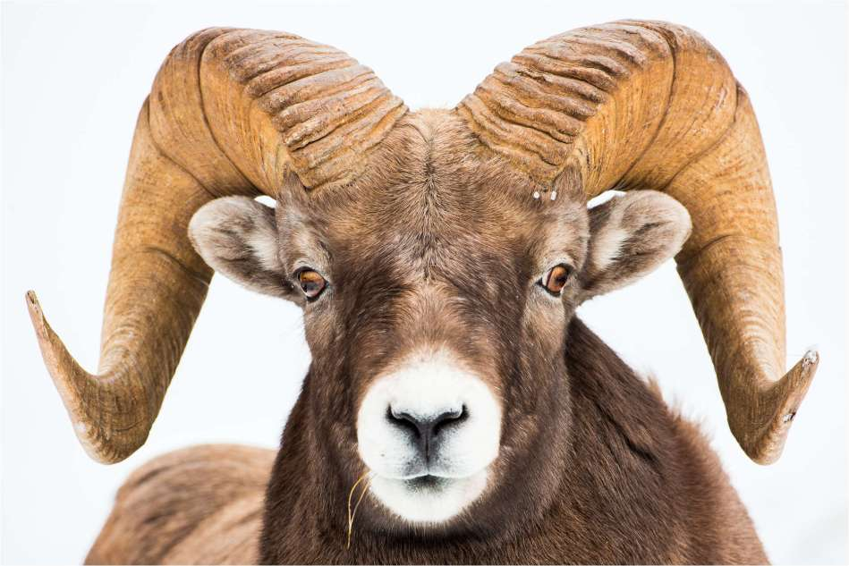 A ram's portrait - © Christopher Martin-5702