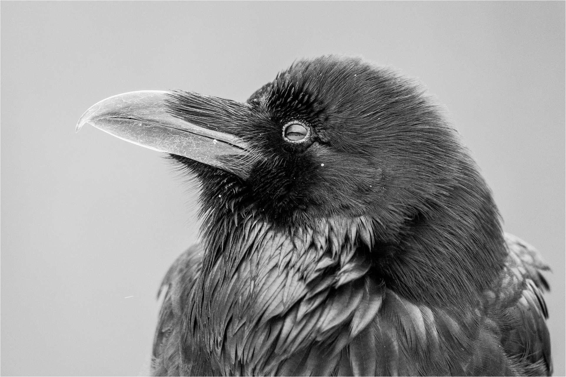Raven profile - © Christopher Martin-6264