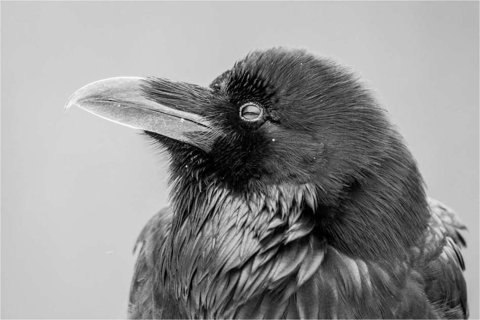 Raven profile - © Christopher Martin-6264