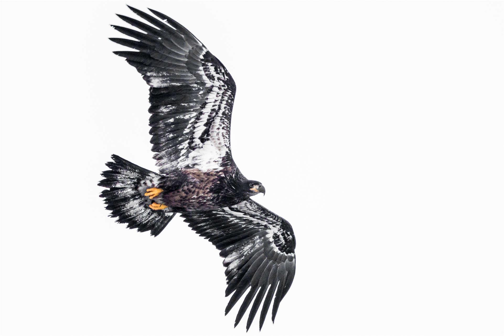 Juvenile in flight - © Christopher Martin-8123
