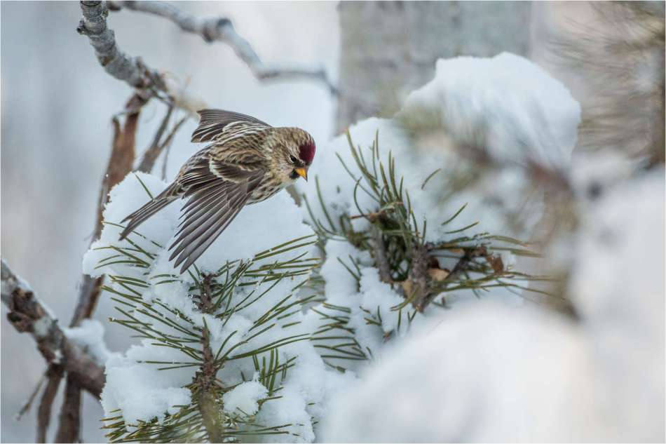 Common redpoll flight - © Christopher Martin-2105