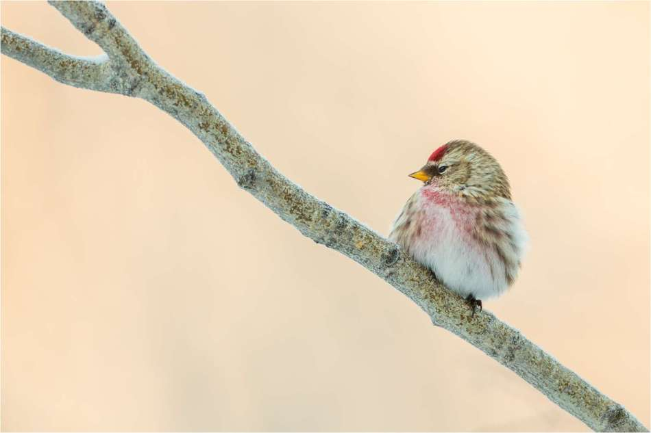 Common redpoll in profile - © Christopher Martin-2057