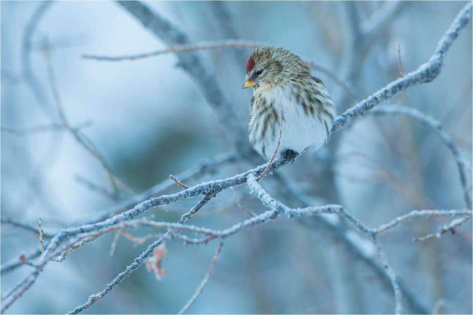 Common redpoll perched on cold morning - © Christopher Martin-2011