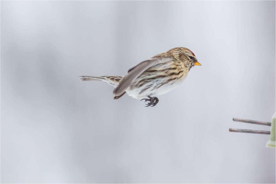 Redpoll flight - © Christopher Martin-2419