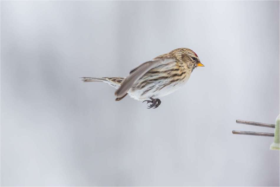 Redpoll flight - © Christopher Martin-2419