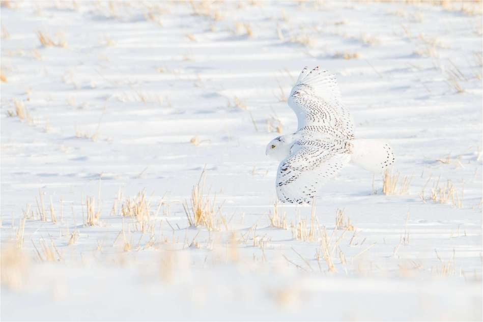 Snowy Owl on the fields - © Christopher Martin-1307