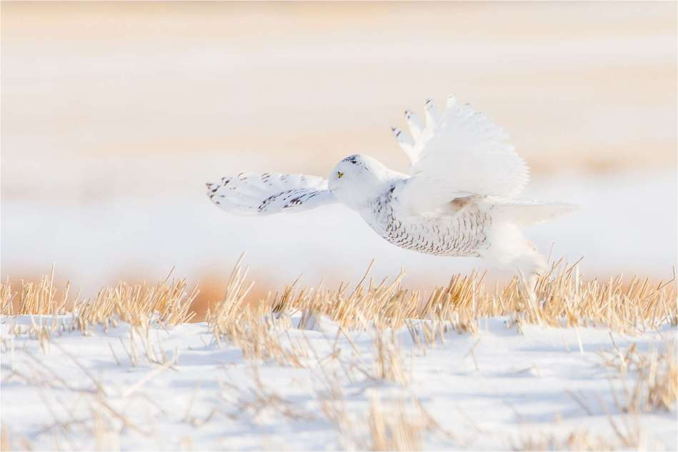 Snowy Owl on the fields - © Christopher Martin-2