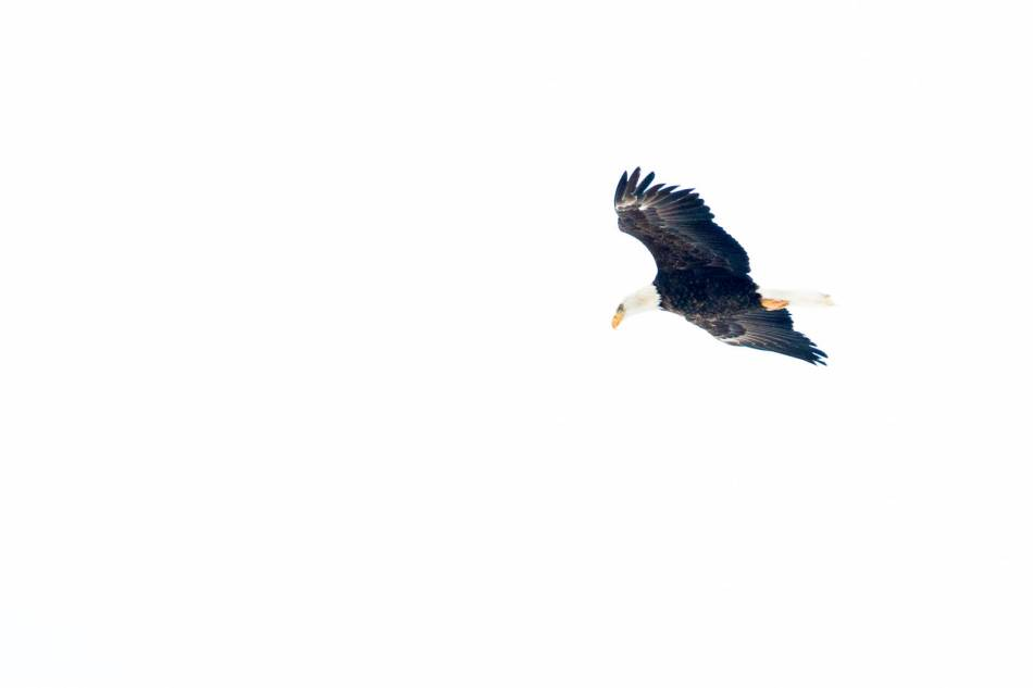 Adult bald eagle in flight - 2013 © Christopher Martin
