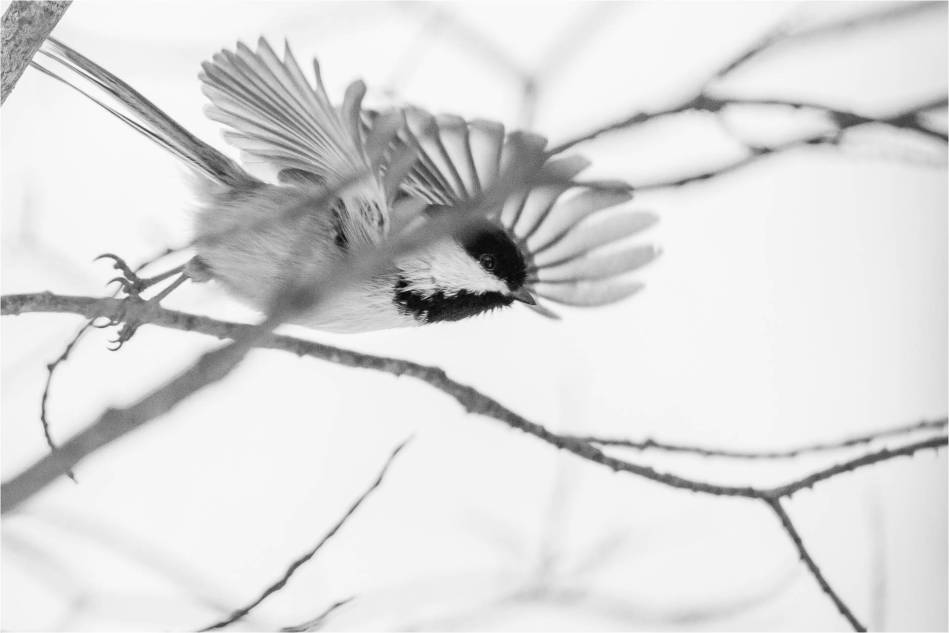 Chickadee in flight - 2013 © Christopher Martin