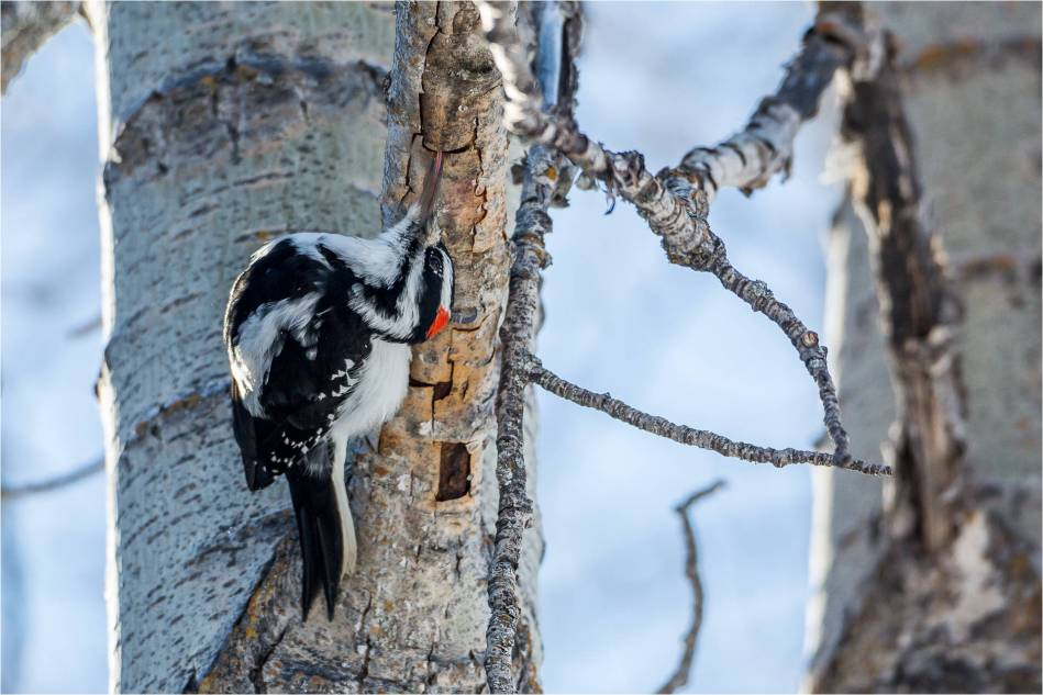 Woodpecker yogi - 2013 © Christopher Martin