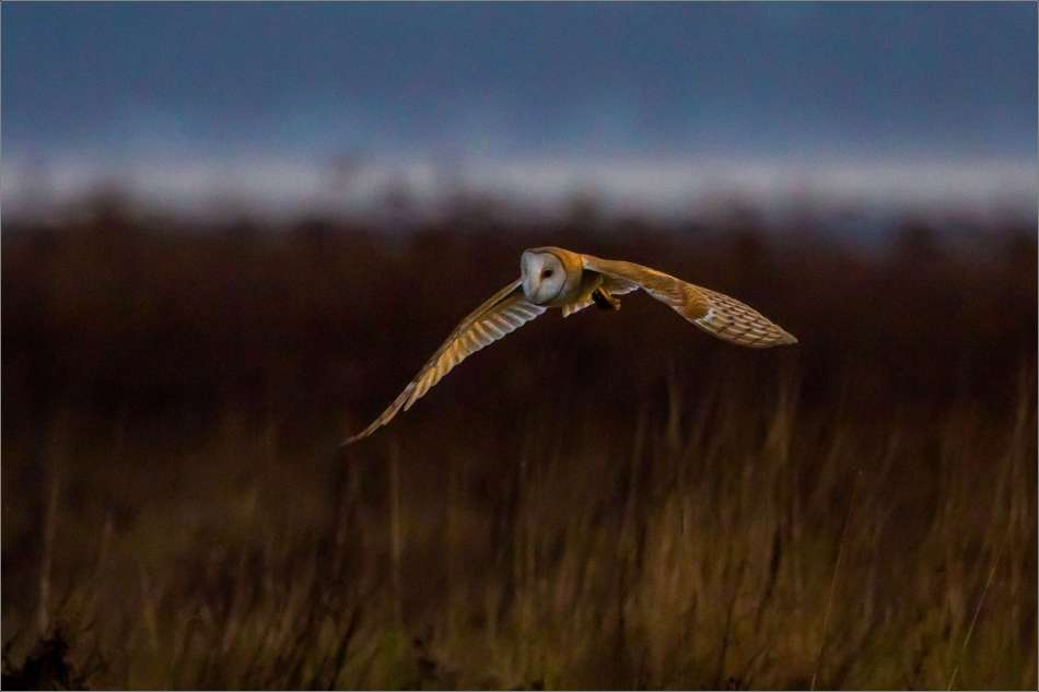 Barn owl flight over Boundary Bay - 2013 © Christopher Martin