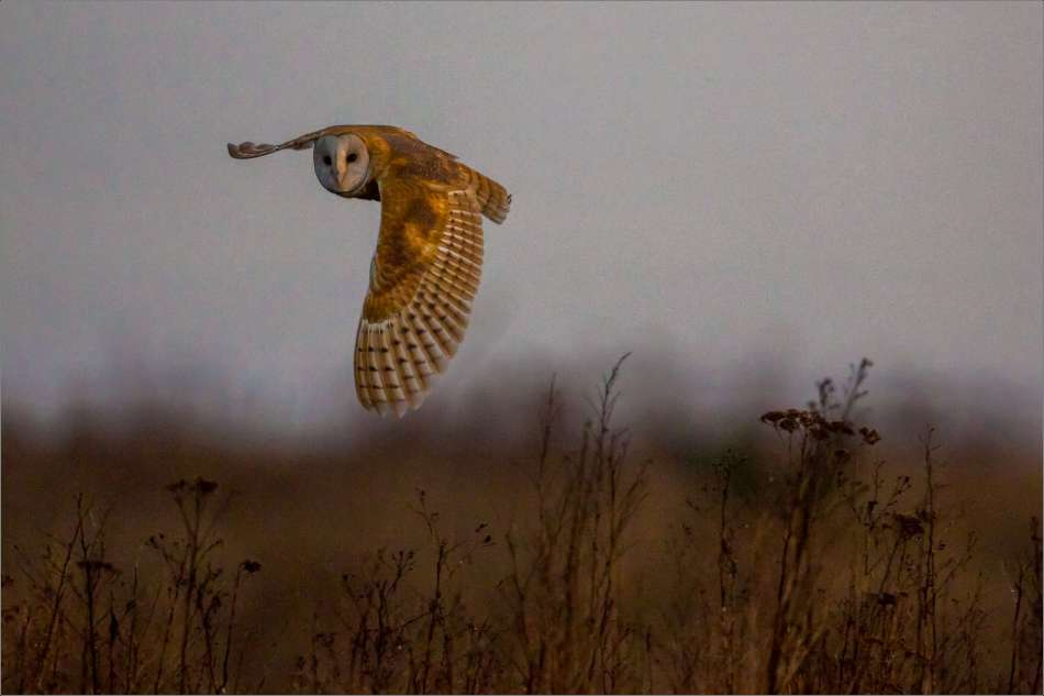 Curious Barn owl on a flyby - 2013 © Christopher Martin