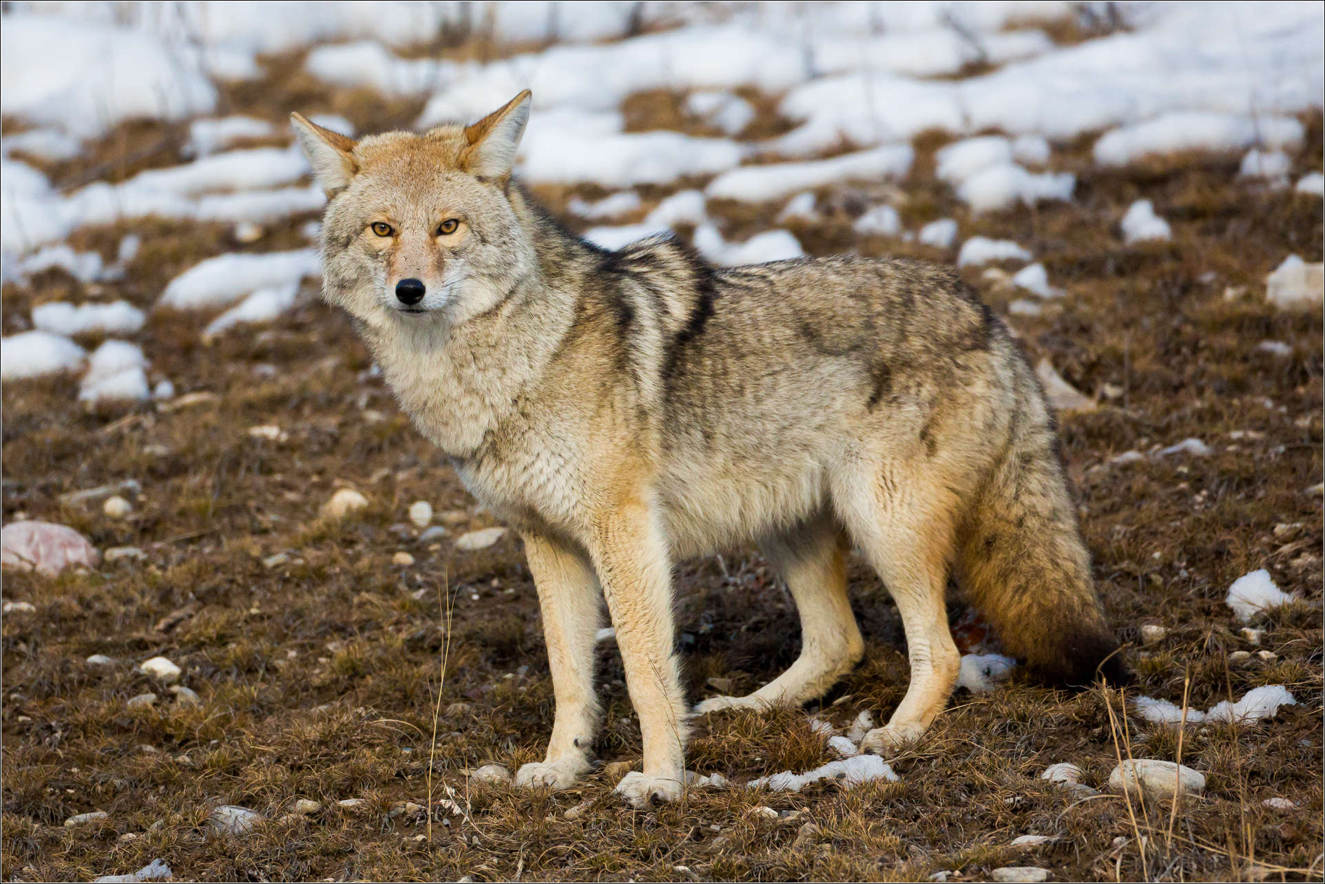 Coyotes | Christopher Martin Photography
