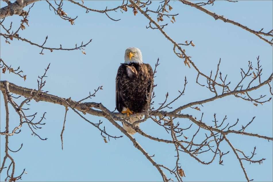 Eagle tree - 2013 © Christopher Martin
