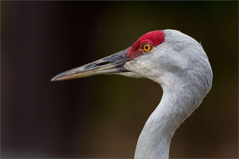 Sandhill crane - © Christopher Martin-1965-2