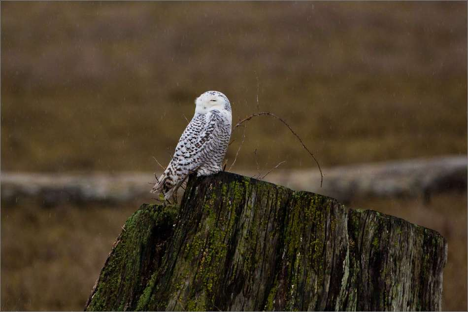 Snowy owl and the heavy rain - 2013 © Christopher Martin