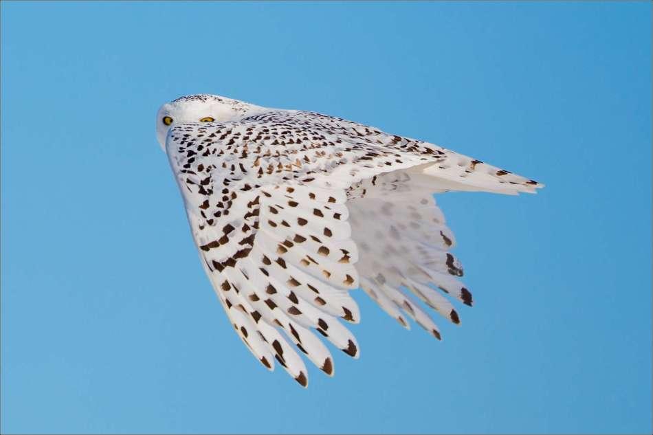 Peeking over wing - 2013 © Christopher Martin