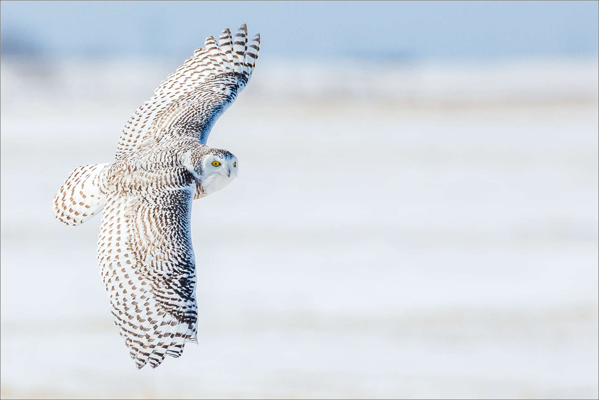 Snowy owl in flight at night - photo#4