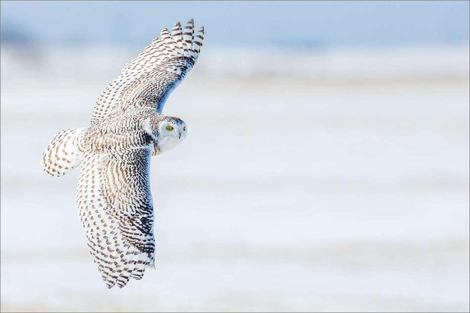 Snowy flight and gaze - 2013 © Christopher Martin